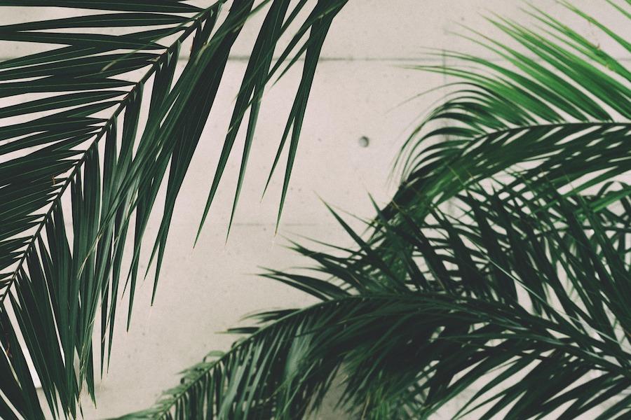 liscie palmowe