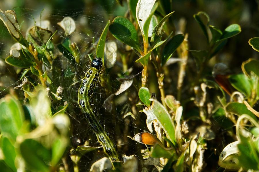 Co niszczy bukszpan? Ćma bukszpanowa, ćma azjatycka (łac. Cydalima perspectalis), która składa jaja w bukszpanie, a jej larwy zjadają liście i niszczą bukszpan.