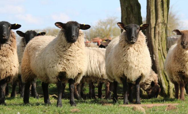 wypas owiec w bieszczadach